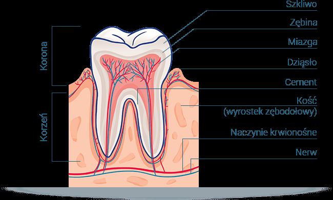 Schemat budowy zęba